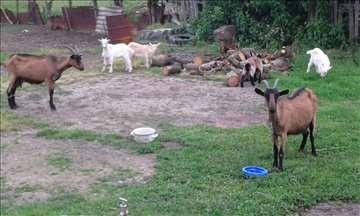 Koza sa jarićima