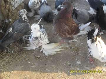 Prodajem ukrasne golubove