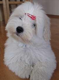 Coton de tulear i maltezer štenci na prodaju