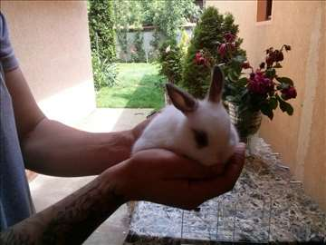 Patuljasti zečevi