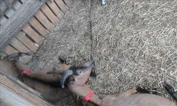 Prodajem koze rase Alpino