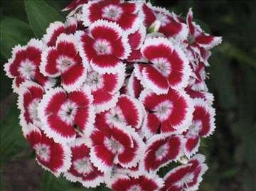 Cveće Turski karanfil
