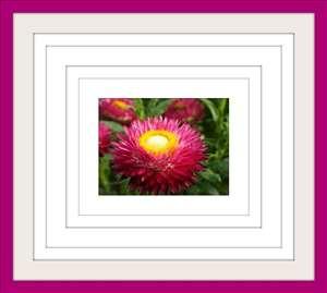 Slamsko cveće- Slamno cveće