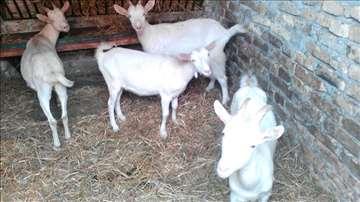 Stado koza u laktaciji