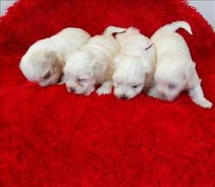 Malter štenci najpovoljnije