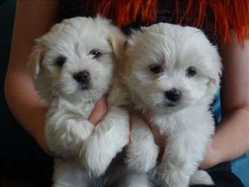 Teacup malteški štenaci