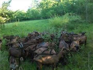 Umatičene koze na prodaju