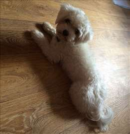 Čuvam pse malog rasta