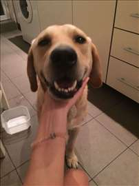 Nađen mlad žuti labrador