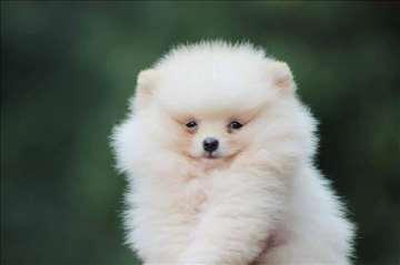 Pomeranski špic Boo prelepi štenci