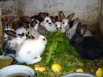 Prodajem zečeve, hitno!