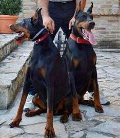 Doberman štenci - najava legla