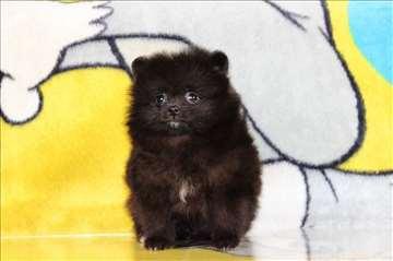 Pomeranski špic crni štenci