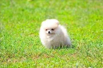 Boo štene sa slika
