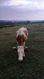 Prodaja krava i junica rase simentalke