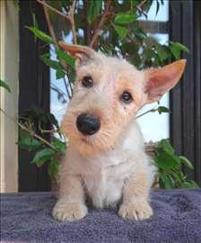 Škotski terijer prelepo muško štene