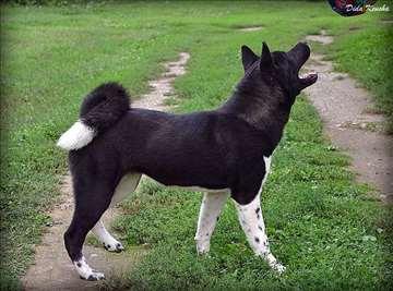 Akita, mlad pas