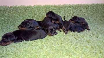 Doberman štenci na prodaju