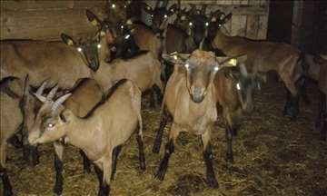 Koze na prodaju