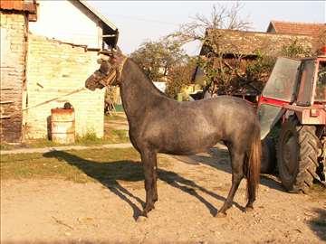 Mlada ždrebna kobila