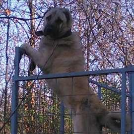 Turski kangal, štene