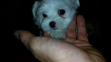 Maltezer, štene na prodaju
