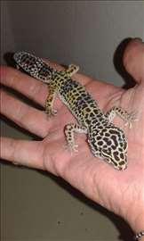 Leopard gekon