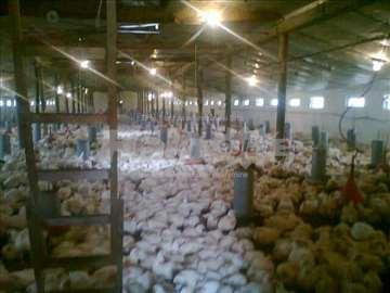 Farma živine