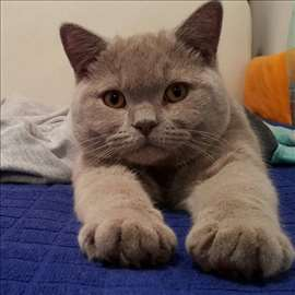 Britanski kratkodlaki mačak (lilac) za parenje
