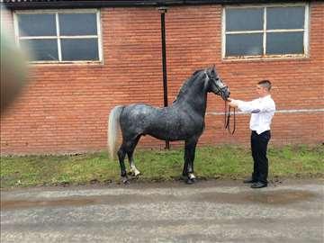 Konj lipicaner