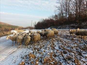 Prodaja umaticenog stada ovaca