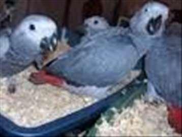 Kongo Afrika hall papagoi 150 e