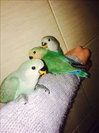 Rozenkolisi - ljubavni papagaji