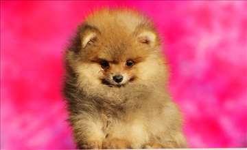 Pomeranski špic boo muško štene