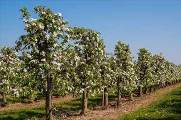 Voćnjak pod zasadom jabuka