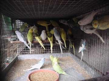Papagaji razni
