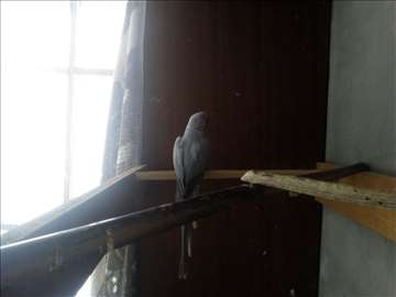 Mali aleksandar, papagaj