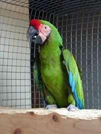Poklanjam papagaja aru