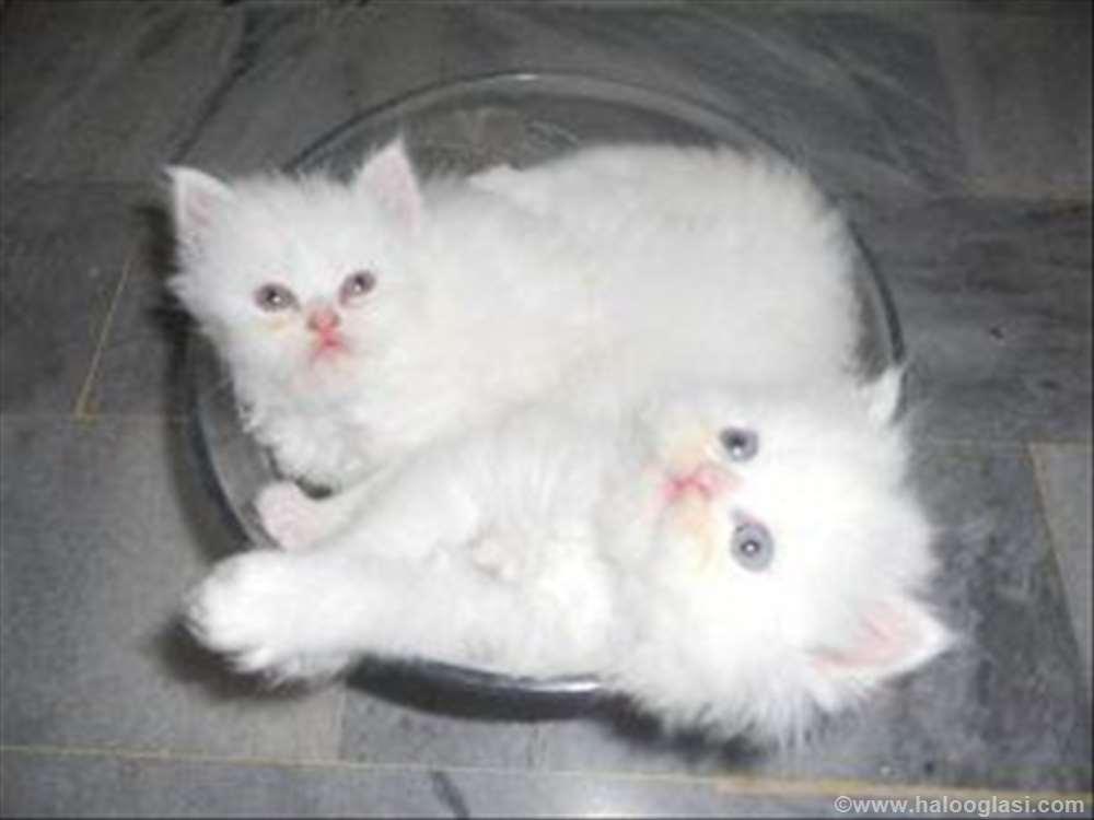 Persijski mačići | Halo Oglasi