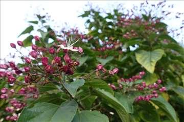 Klerodendron Sadnica Ukrasnog Drveta