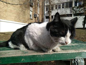 Velika i debela maca